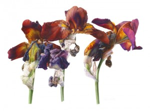 "Iris ""Action front"" by Fiona Strickland, SBA"