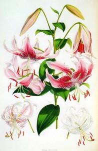 Lilium speciosum, Walter Hood Fitch