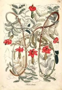 Ilustración de José Celestino Mutis