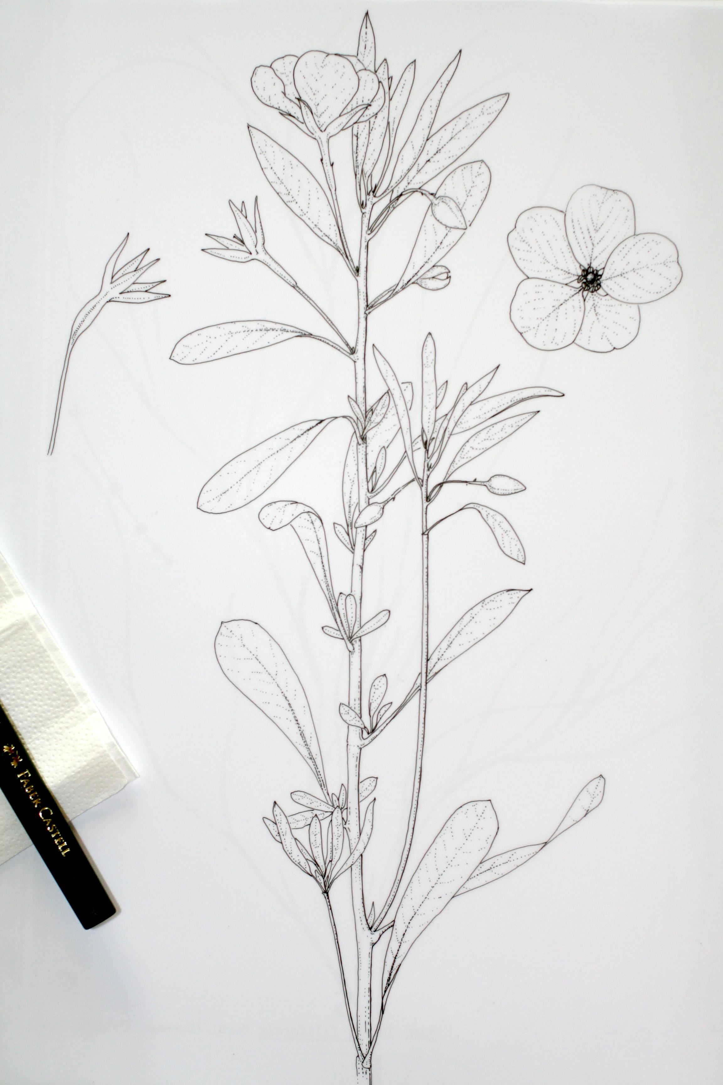 Cmo realizar un Dibujo Botnico Cientfico Ludwigia grandiflora
