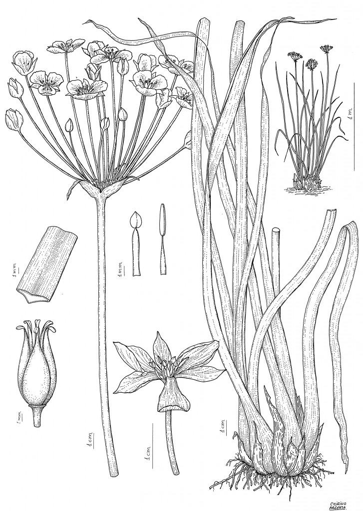 Butomus umbellatus, Marta Chirino