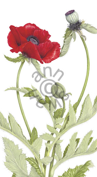 Oriental Poppies, Ann Swan