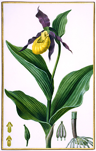 Cypripedium, Orchidaceae, watercolor on vellum by Pancrace Bessa (1772-1835) HI Art accession no. 0057.