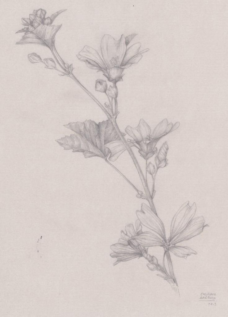 Malva sylvestris, dibujo a lápiz de Marta Chirino