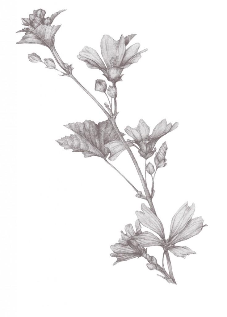 Dibujo de Malva-pantone437
