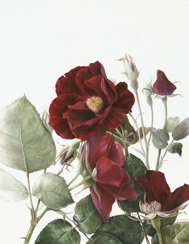 Elaine Searle. Rosa 'Dusky Maiden' Print Size A4. Edition of 25