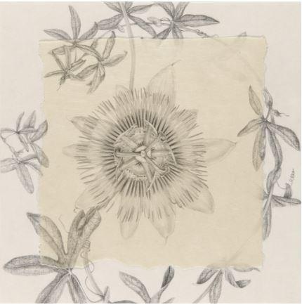 Pasiflora I, 2014 - lapiz sobre papel- 37 x 37 cm